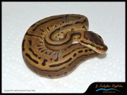 Leopard Pinstripe Ball Python