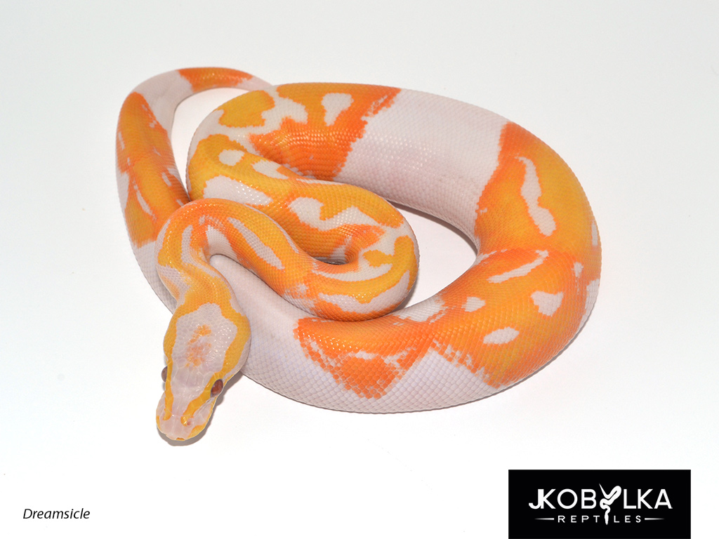 how to make a dreamsicle ball python