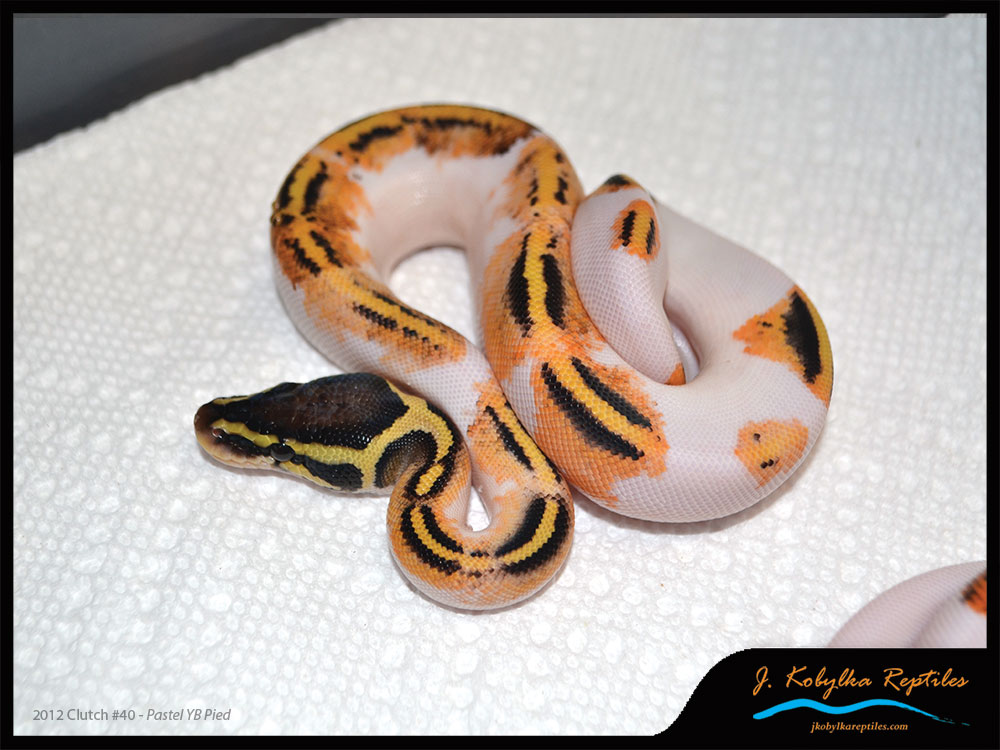 Are Piebald Patterns Truly Random The Ball Street Journal