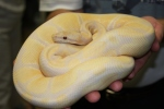 One of my first big purchases, an adult Lavender male for $25k.