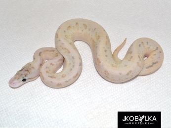 Leopard Fire Spider Ivory