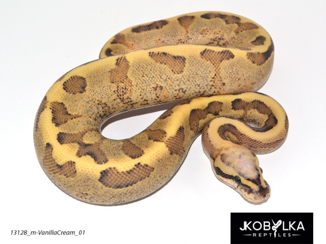 Understanding Allelic Genes In Ball Pythons The Ball Street Journal